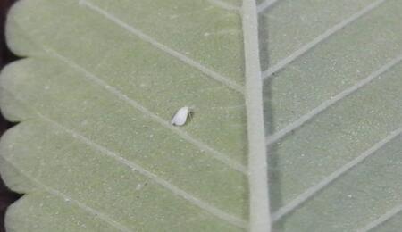 Mosca blanca en envés de hoja de cannabis.