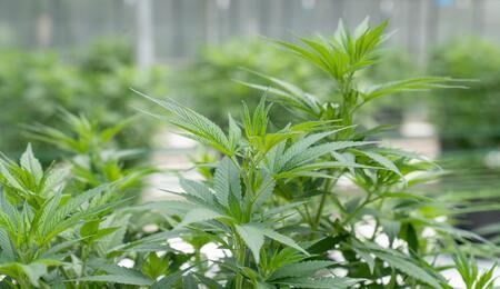 Nemocnice v Brně pěstuje marihuanu