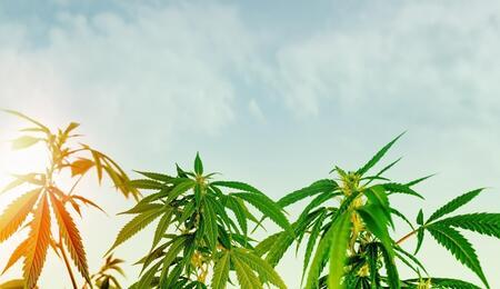 cannabis outdoor plantation.