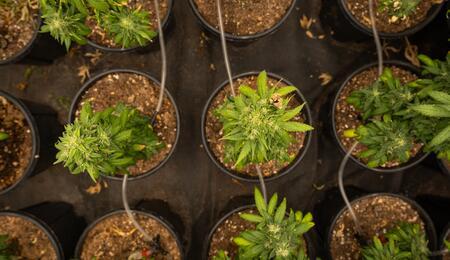 Esquejes de cannabis luego de ser cortados de una planta madre, enrraizados y vegetados.