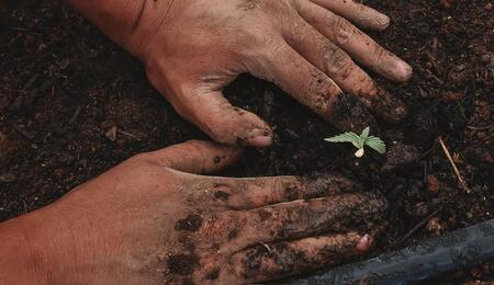 Working with the hands in the ground, planting a small cannabis seedling.