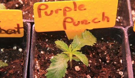 small seedlings of purple punch.