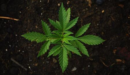 Photo showing a small cannabis plant and its supersymmetry from abvoe.