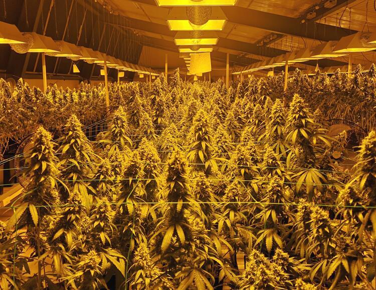 Cannabis, miglioramento genetico e l'importanza dell'artigianato.