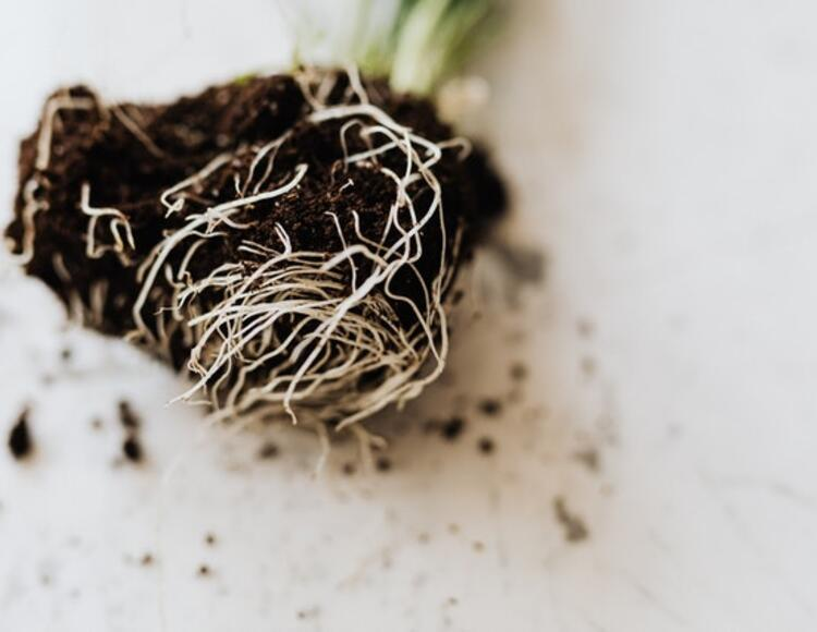 close up of plant roots.