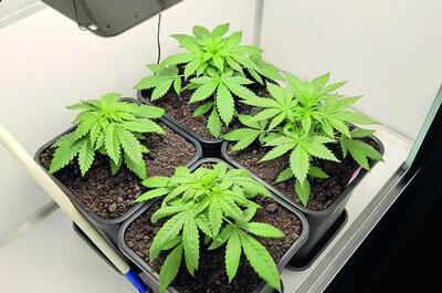 homegrown weedplants