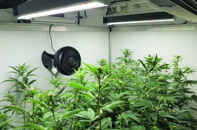 veilig medicinale cannabis kweken