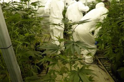 Varios criadores recogen muestras en un cultivo de variedades CBD