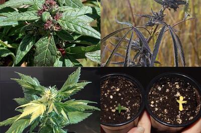 Plantes mutantes