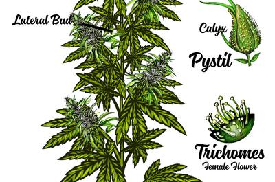 an illustration showing all the main components of the cannabis plant.