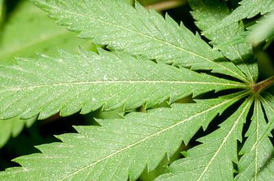 hoja-cannabis-plagas