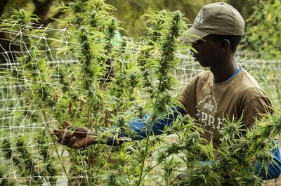 cosecha-cannabis
