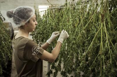 empleo-cannabis